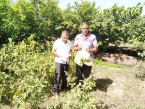 سحب عينات من محصول الجوافة بكفر الدوار وتحليلها بالمعمل المركزى للمبيدات.